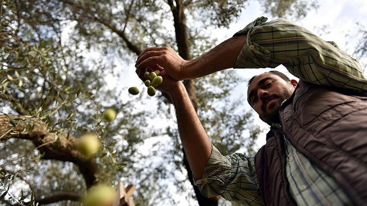 Turkey's Aegean olive producers face devastating drop in cultivation