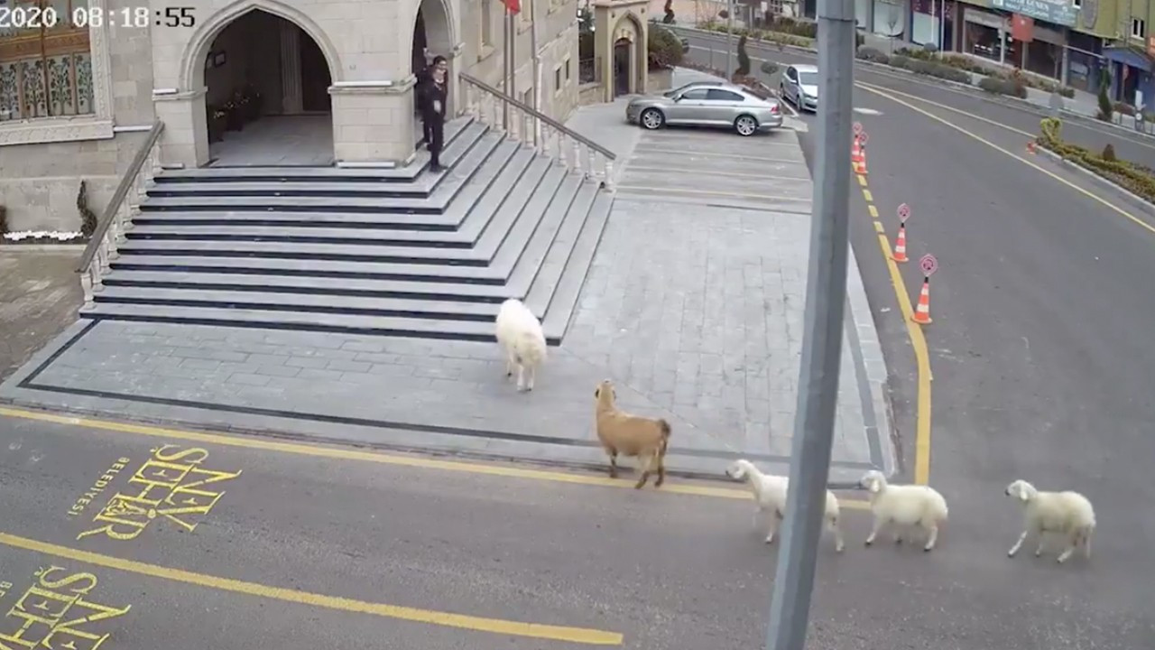 Turkish municipality building 'taken hostage by sheep, goat, lambs'