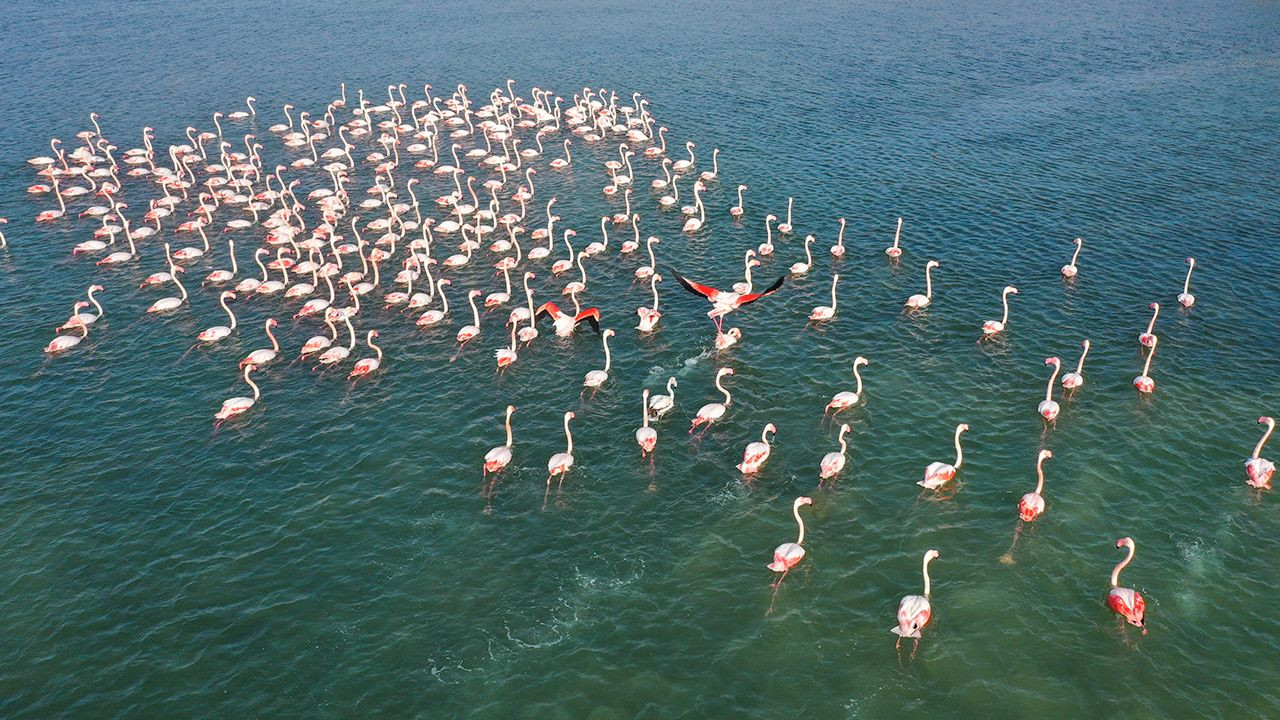 Flamingos' migration in Turkish Mediterranean at risk due to drought - Page 4