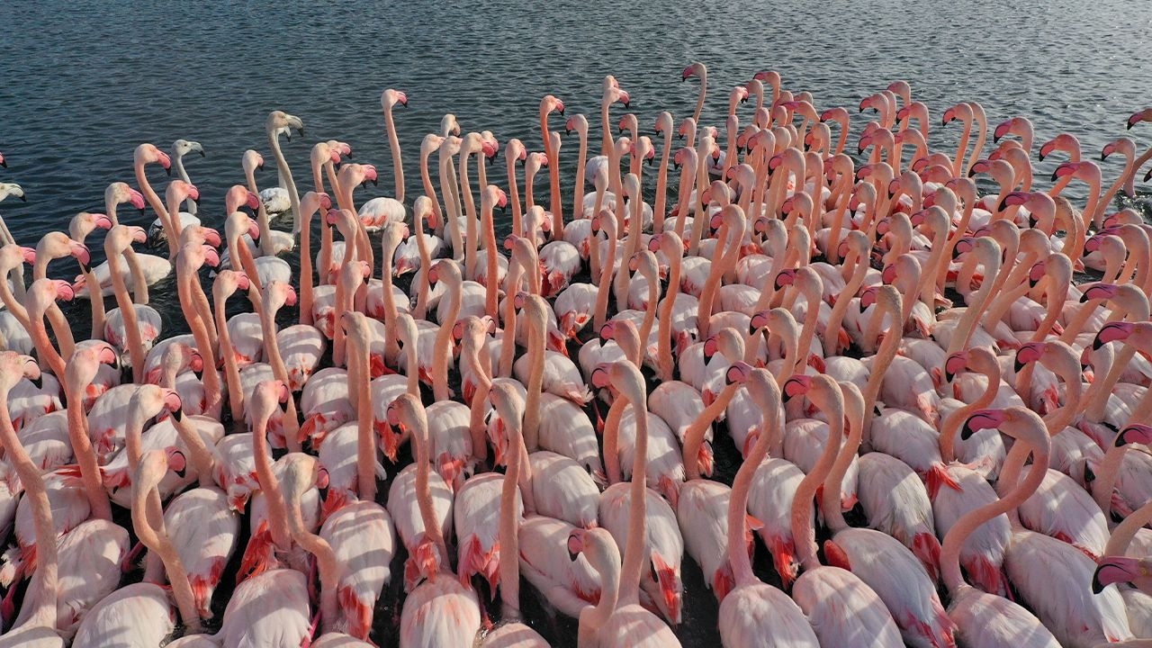 Flamingos' migration in Turkish Mediterranean at risk due to drought - Page 2