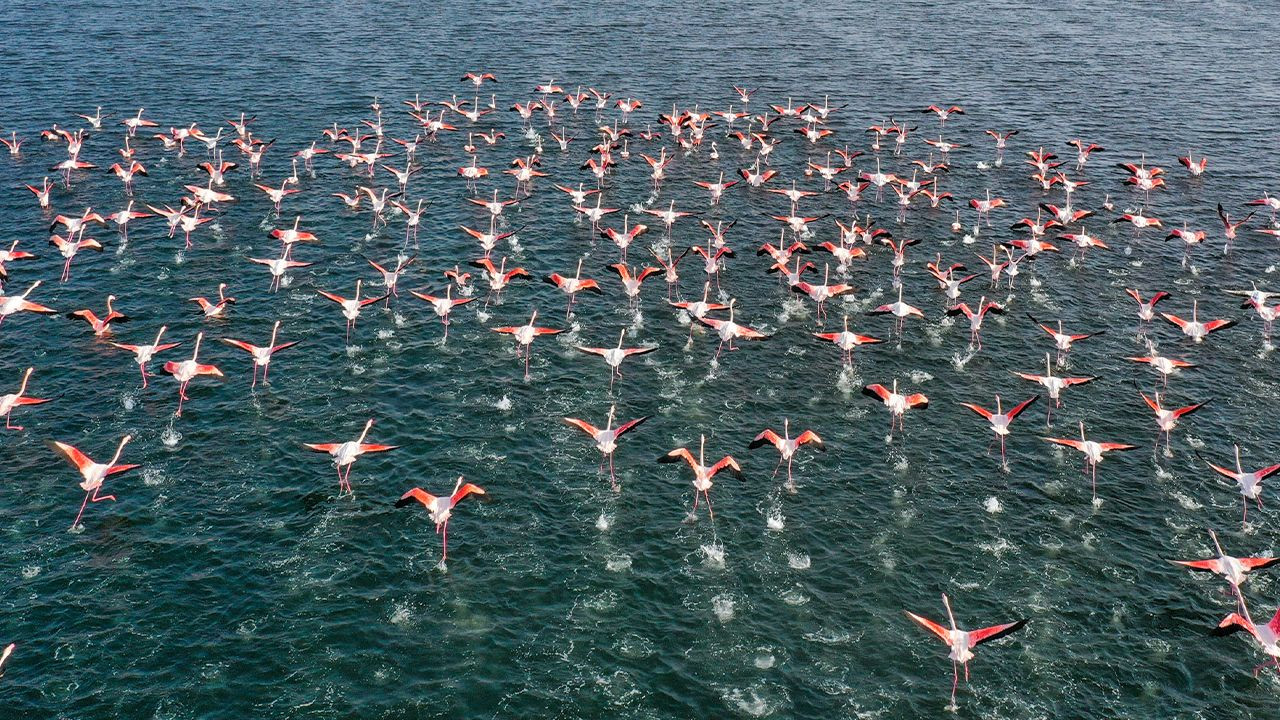 Flamingos' migration in Turkish Mediterranean at risk due to drought - Page 1
