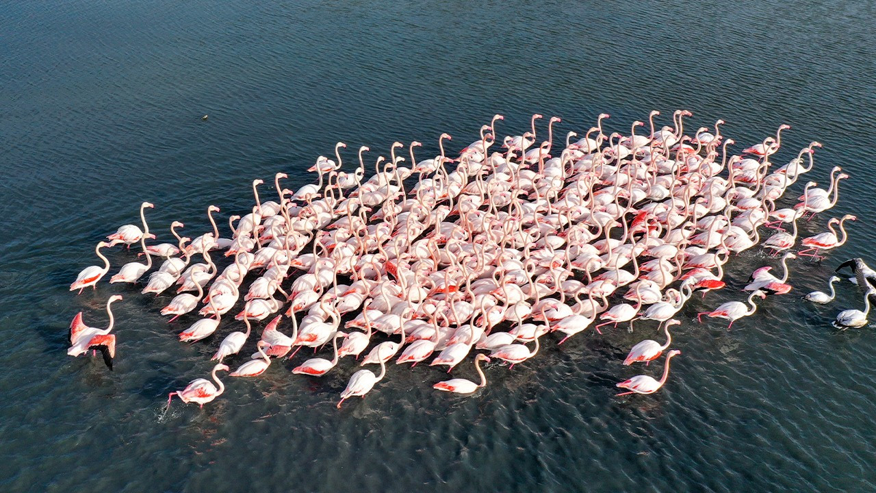 Flamingos' migration in Turkish Mediterranean at risk due to drought