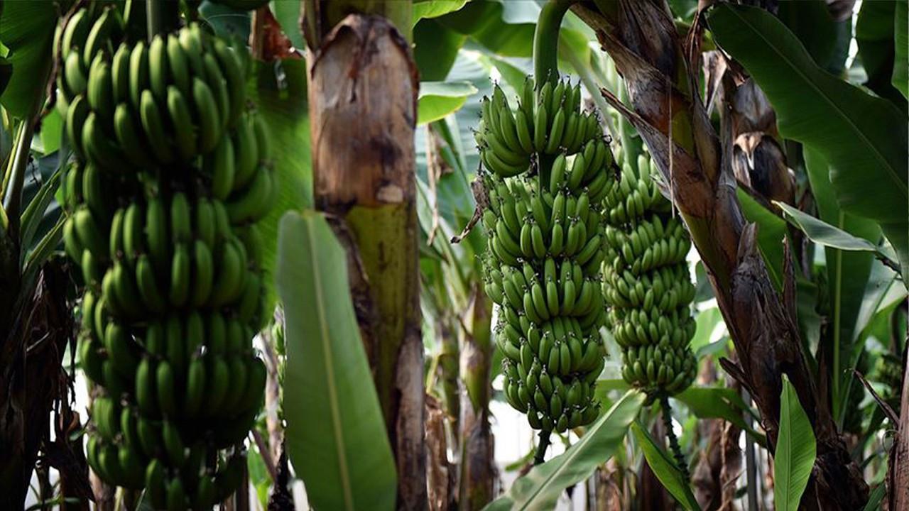 17 Turkish banana vendors investigated for price collusion