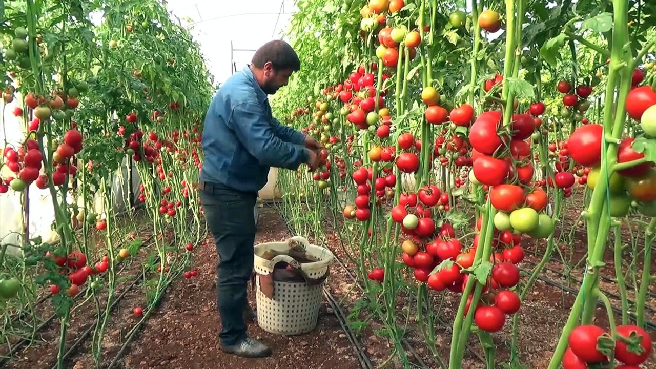 Farmers struggle as export bans, Russian quota force Turkish tomato prices below cost
