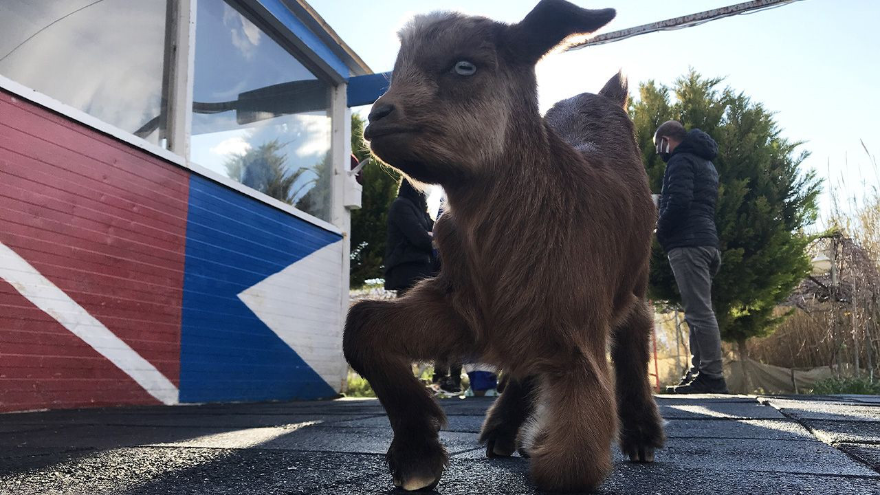 Disabled goat rescued off of Aegean island by benevolent divers - Page 4