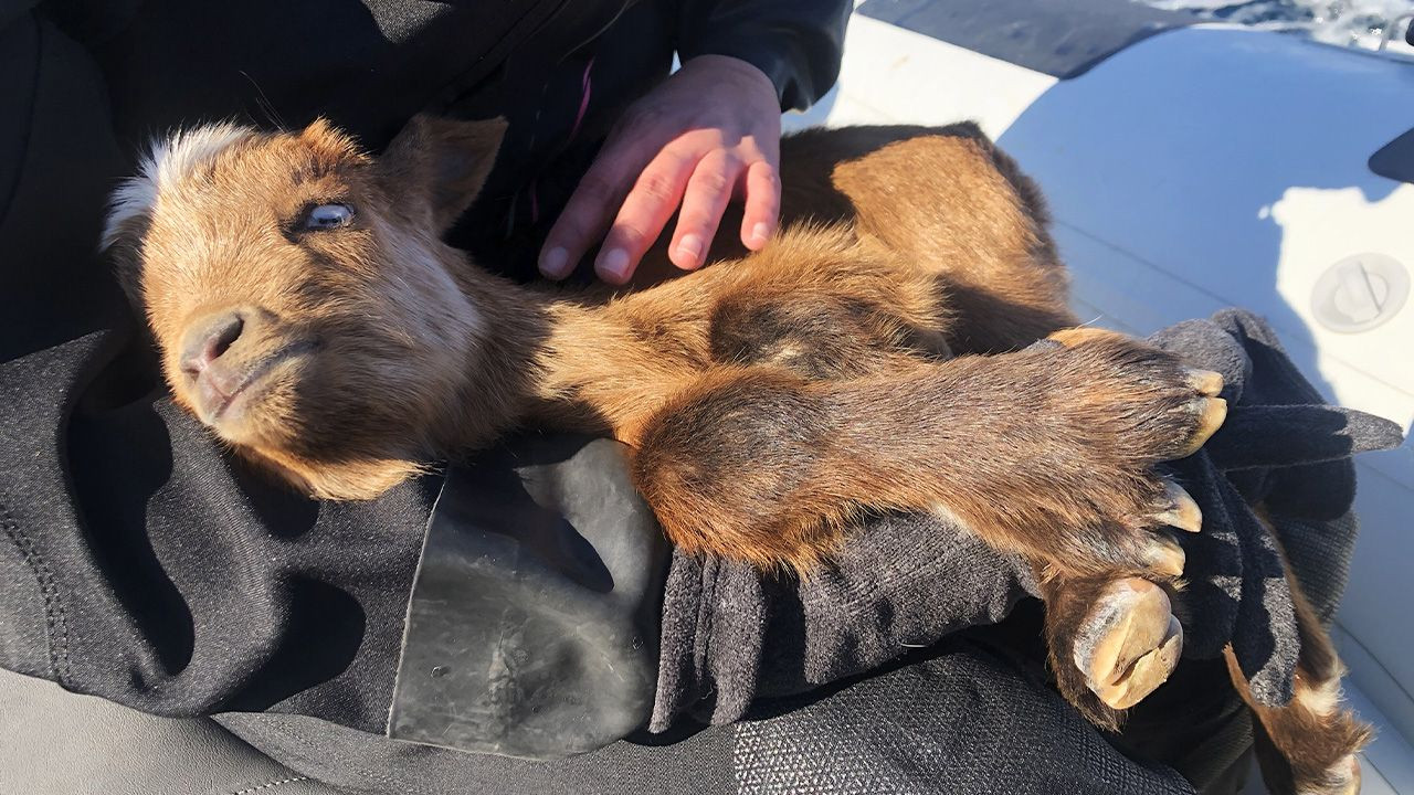 Disabled goat rescued off of Aegean island by benevolent divers - Page 3