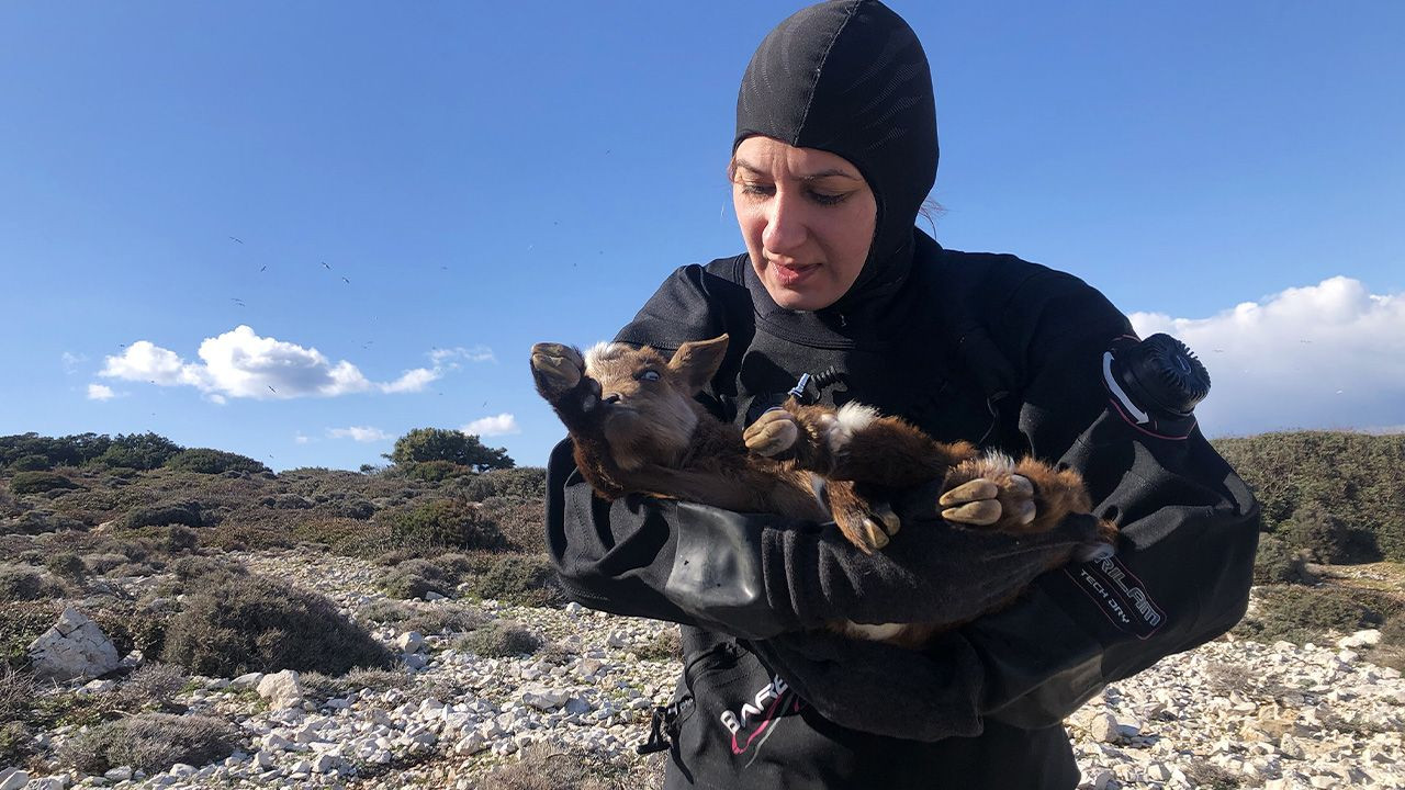 Disabled goat rescued off of Aegean island by benevolent divers - Page 2