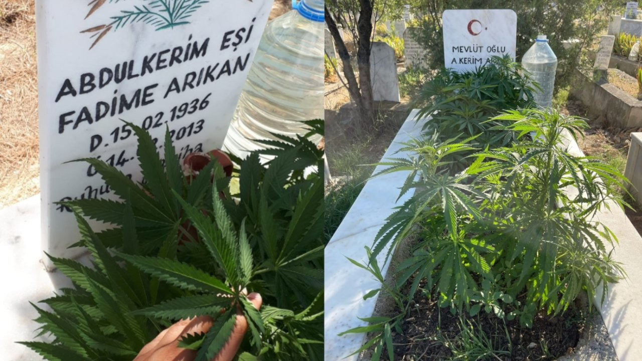 Police detain man for growing cannabis on grandparents' graves