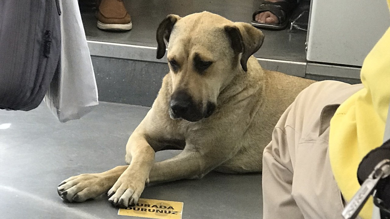 Stray dog touring Istanbul on public transportation becomes viral