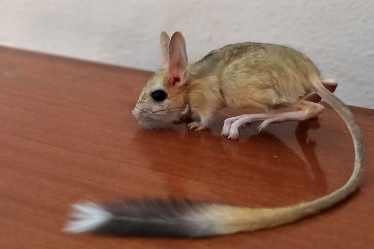 Nearly extinct kangaroo rat spotted in eastern Turkey - Page 4