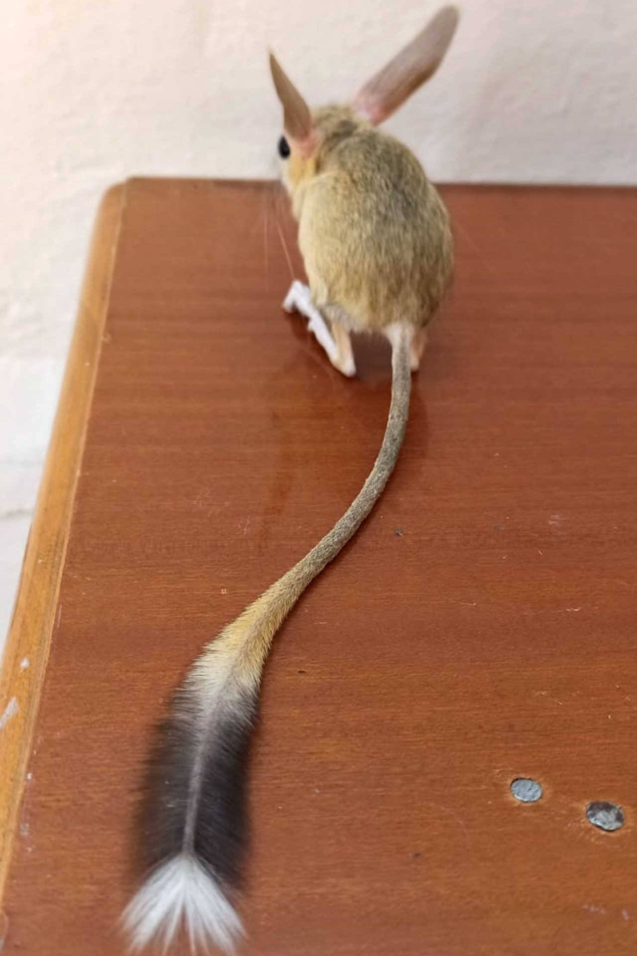 Nearly extinct kangaroo rat spotted in eastern Turkey - Page 3