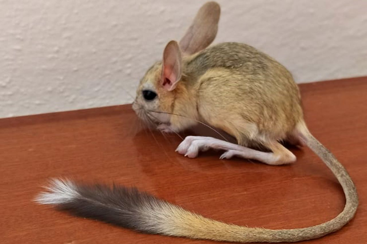 Nearly extinct kangaroo rat spotted in eastern Turkey - Page 2