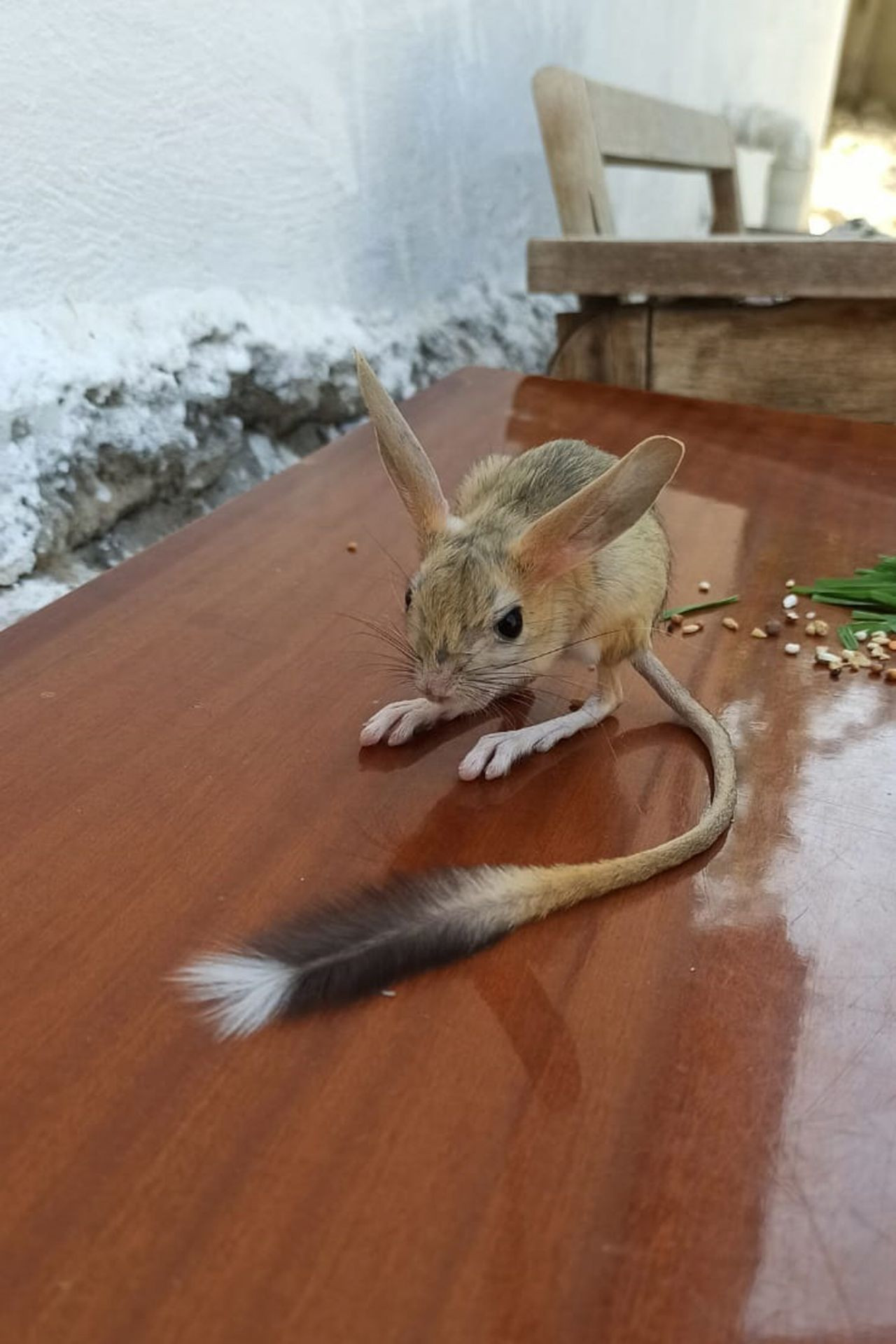 Nearly extinct kangaroo rat spotted in eastern Turkey - Page 1