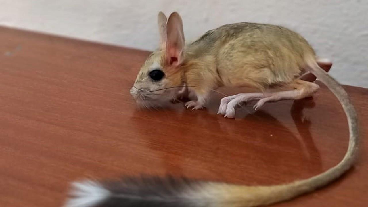 Nearly extinct kangaroo rat spotted in eastern Turkey