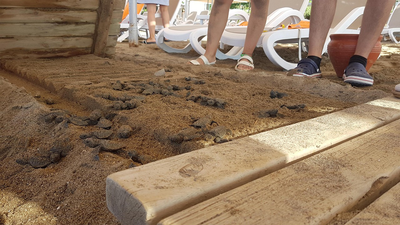 Wooden walkway built by five-star hotel kills caretta caretta babies