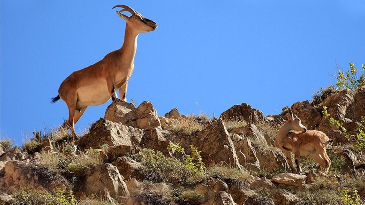 Mountain goats captured on camera while running away from Dersim fire