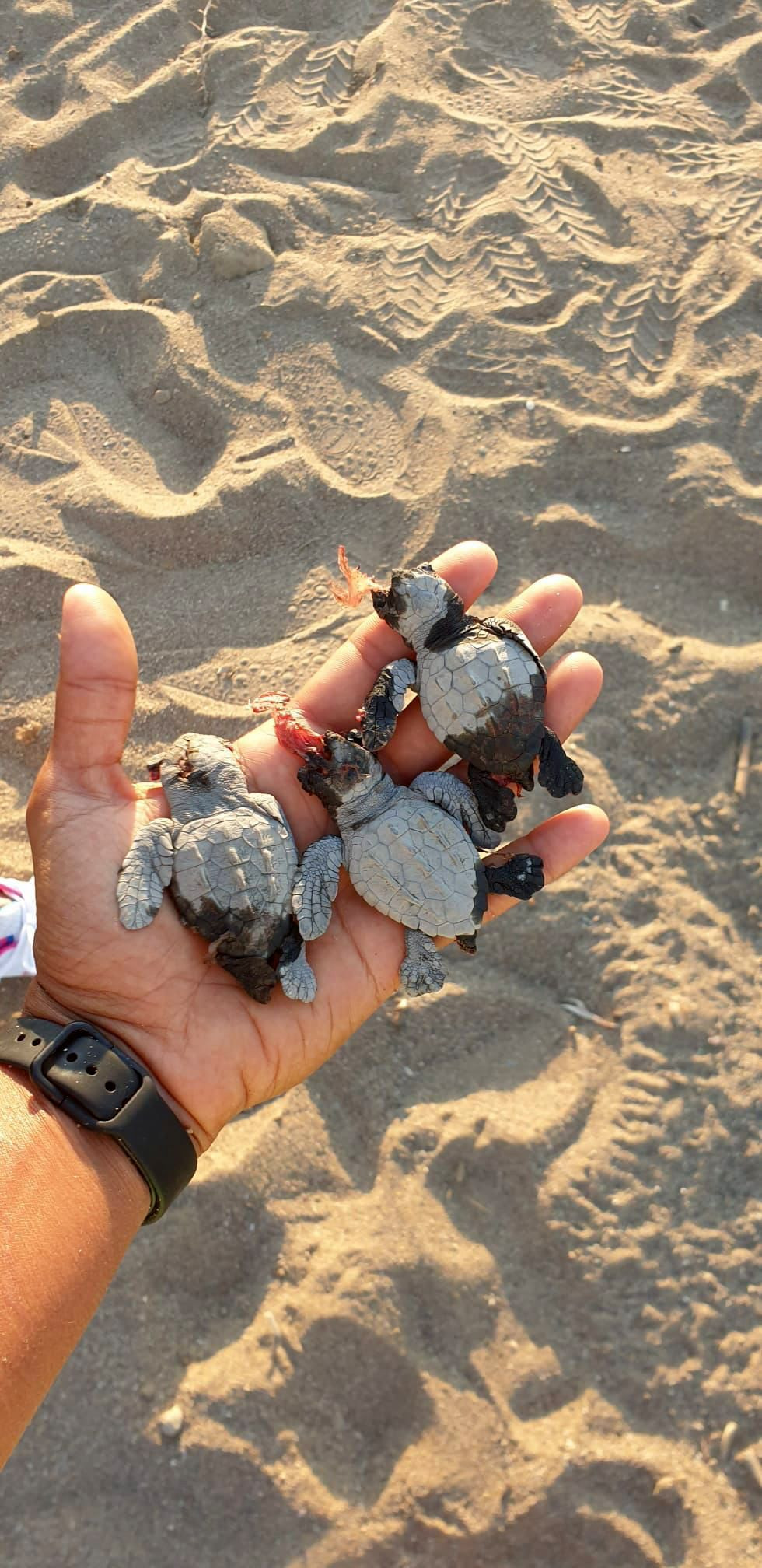 Two men on ATVs kill caretta caretta babies on Antalya beach - Page 2