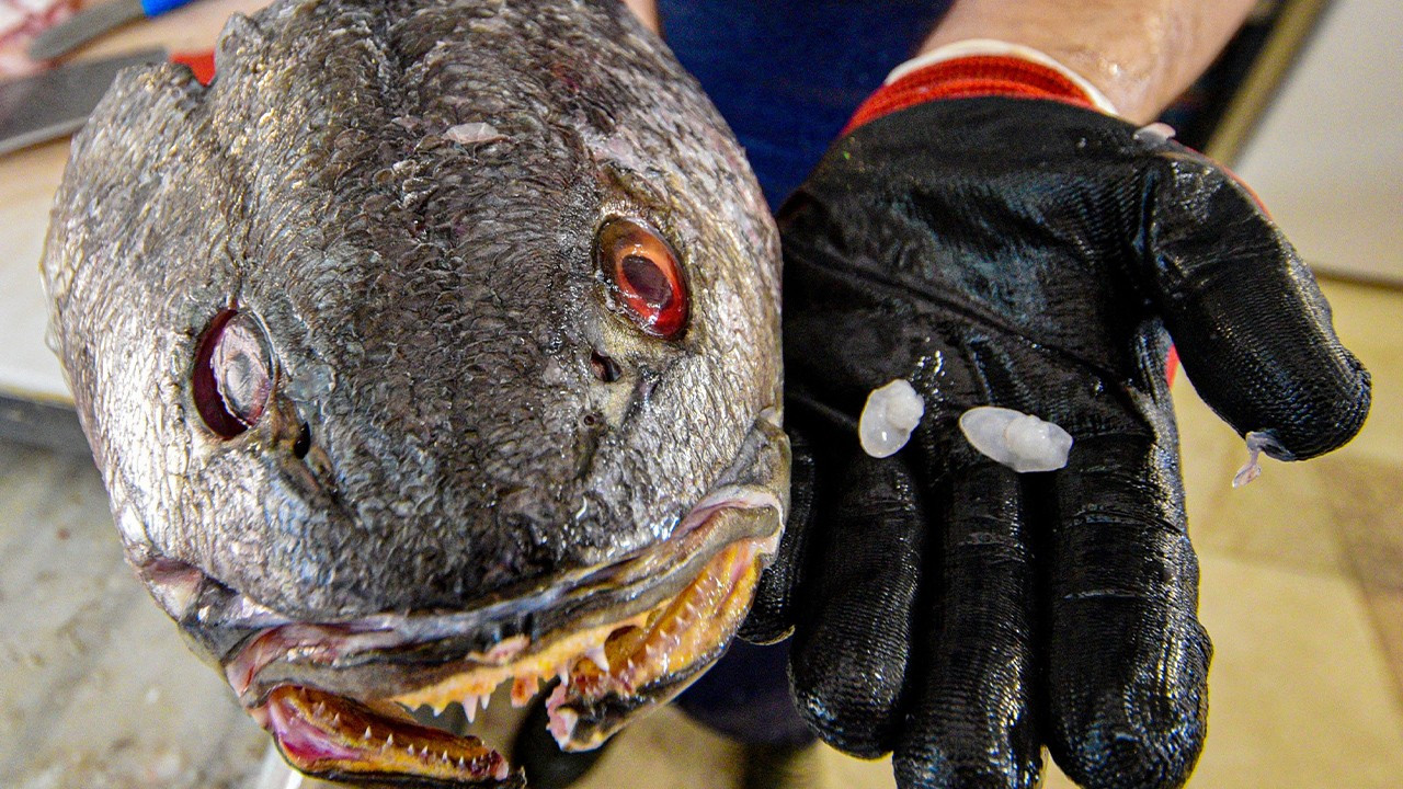 Turkish consumers rave for stones found in fish heads