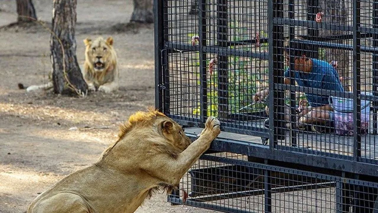 Animal rights defenders enraged over lion safari in southern Turkey - Page 1