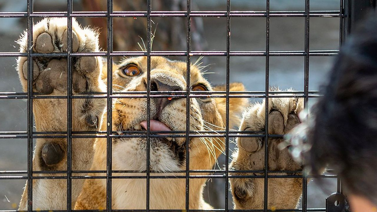 Animal rights defenders enraged over lion safari in southern Turkey - Page 2