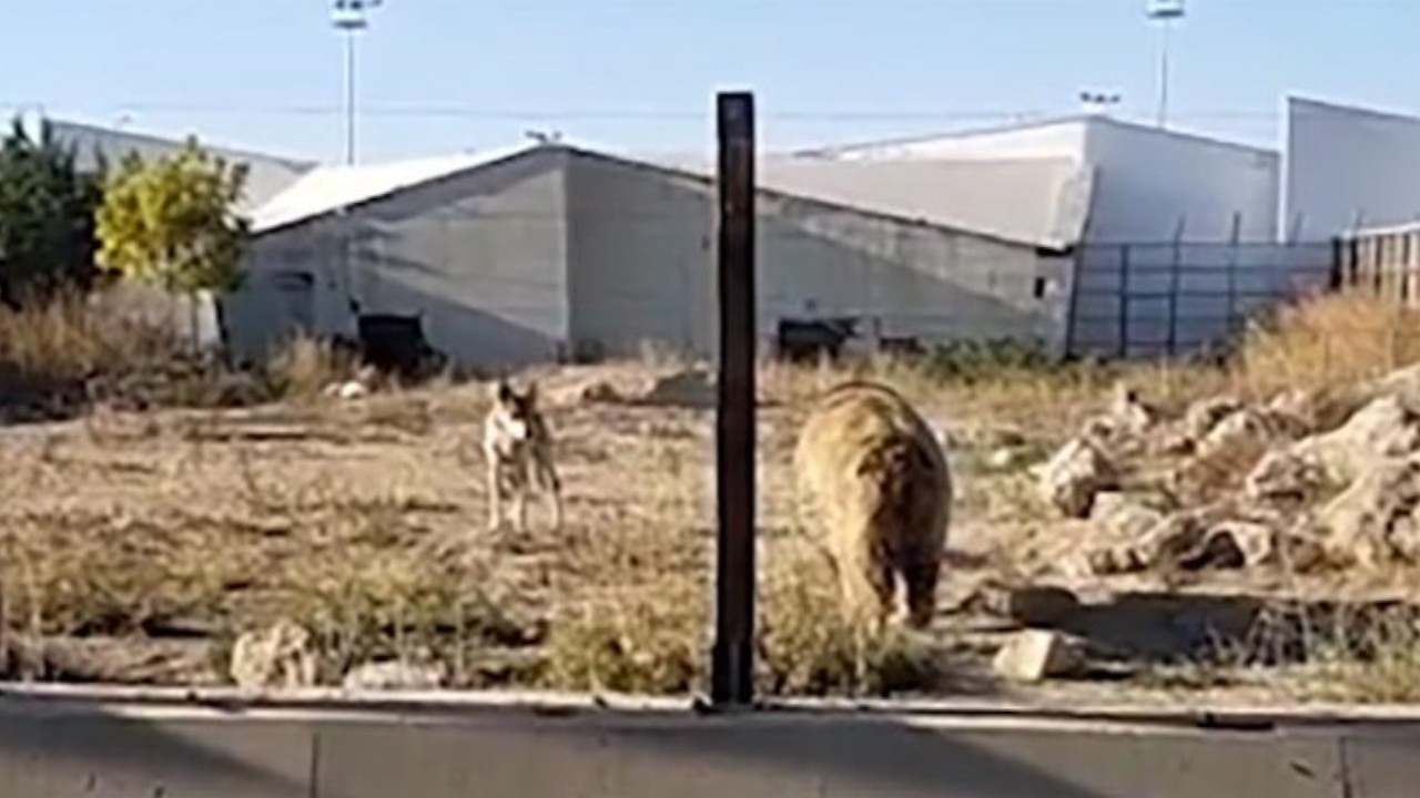 Turkish zoo staff allegedly made wolves fight with bear for a 'bet'