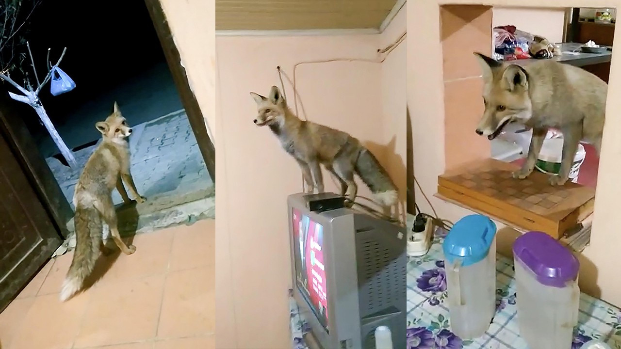 Wild fox befriends construction workers in eastern Turkey