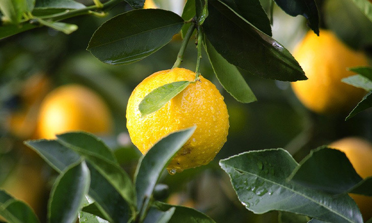 Lemon exports from Turkey to require gov't approval until August