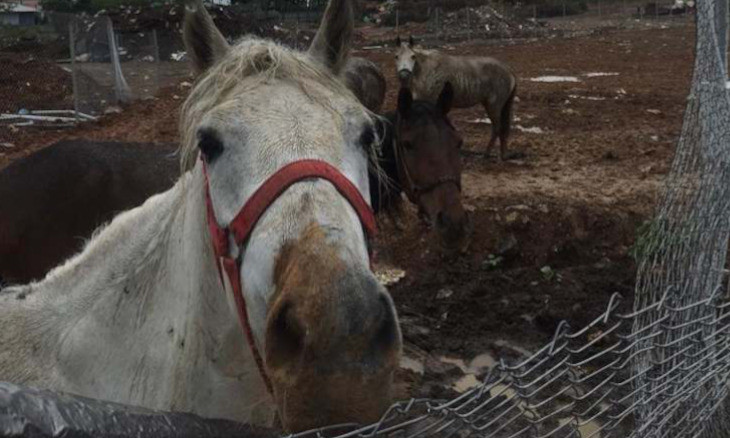 Over one thousand horses at risk of death on Istanbul's Princes' Islands