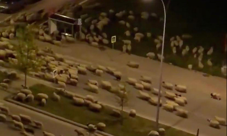 Shepherd takes herd of sheep through residential areas to graze after COVID-19 curfew in northern Turkey