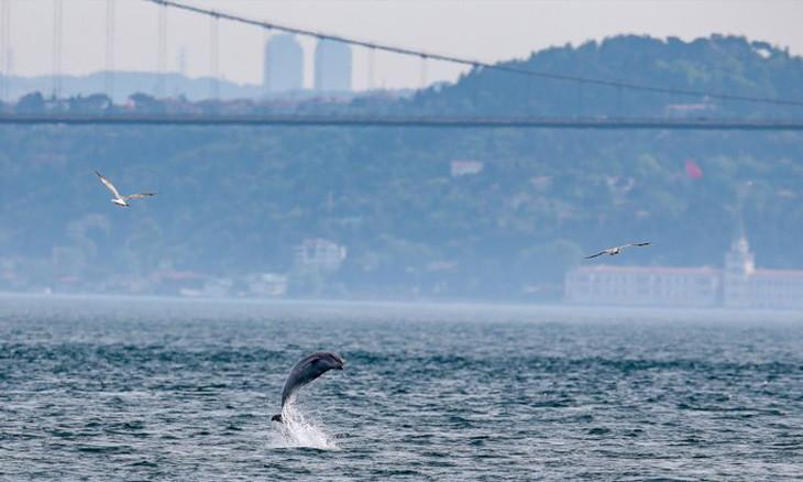 Dolphins start migration to Black Sea, pass through Istanbul Bosphorus