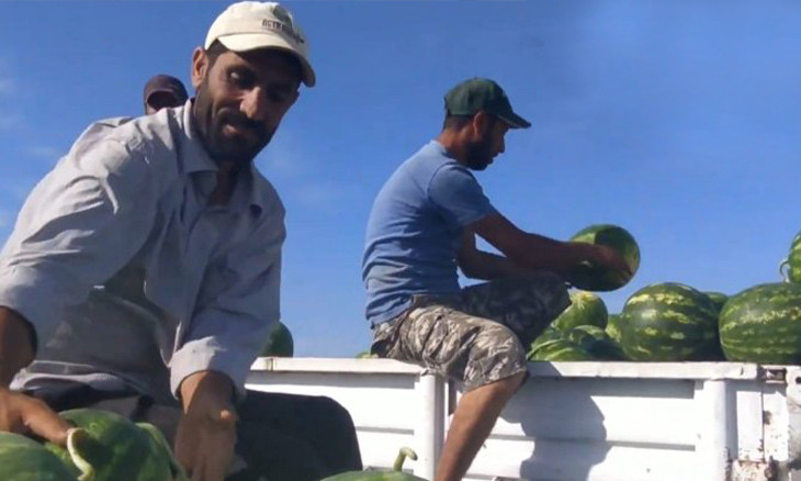 Southern Turkey farmers harvest watermelon that 'they lost a lot of sleep over'