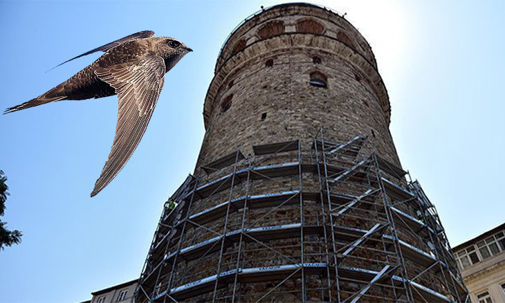 Istanbul's Galata Tower renovation put on pause for common swift babies