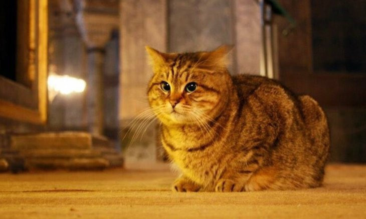 Caretakers of Gli the Hagia Sophia cat warn visitors on his old age after overwhelming attention