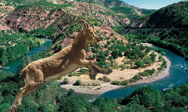 Tender scheduled for hunting sacred eastern Turkey mountain goats