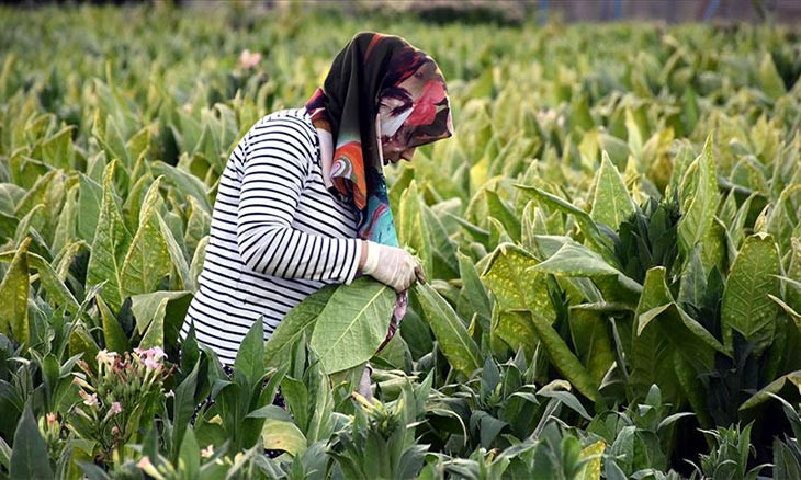 Aegean tobacco farmers fear abandoning production amid growing economic difficulties