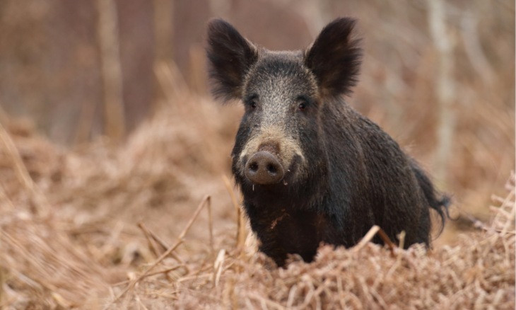 Authorities in Amasya to reward hunters with ammunition in exchange for wild boar tails